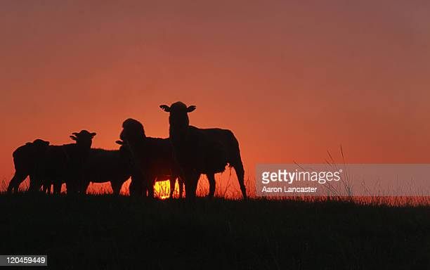 Sheep against sunrise