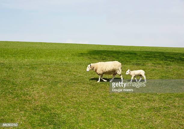 Sheep and baby lamb walking in field.