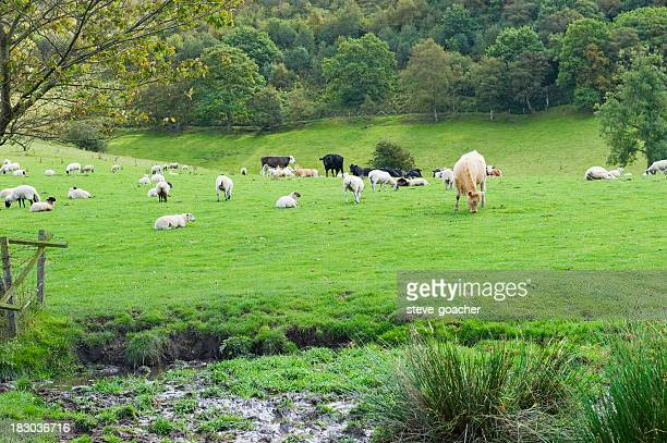 Sheep and cattle in an English meadow