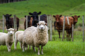 Sheep, lambs and cattle in a lush green grass paddock