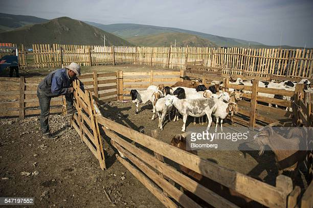 Sheep and goats are contained in a pen at a livestock market on the outskirts of Ulaanbaatar Mongolia on Wednesday July 13 2016 The nation's growth...