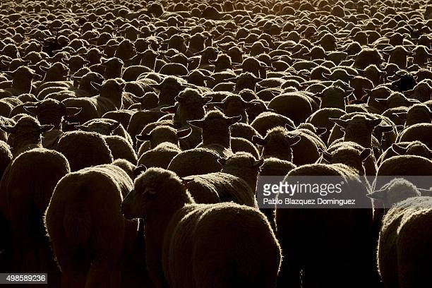 A sheep and goats herd walks along along the Canada Real Conquense o de los Serranos on November 22 2015 in Alhambra in Ciudad Real province Spain...
