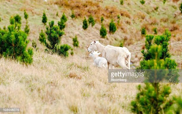 A sheep and her lambs walk between rows of twoyearold pine trees on Edwyn Kight's farm Akitio Station in Dannevirke Tararua district New Zealand on...