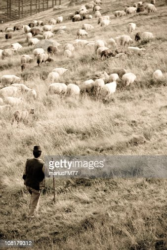 Sheep and Herder in Field