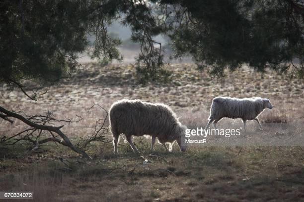 Sheep and lamb grazing