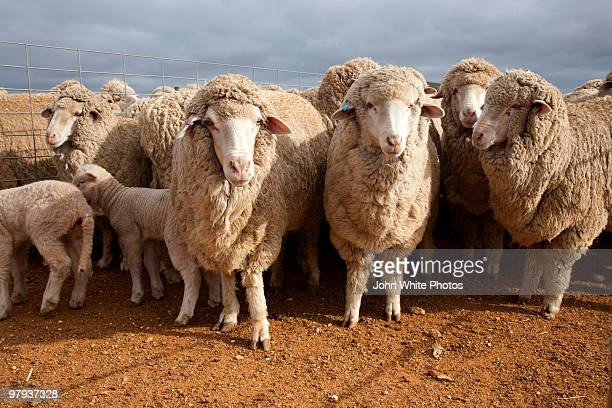 Sheep and lambs Australia