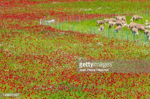 Sheep and red poppies, Provence, spring : Stock Photo