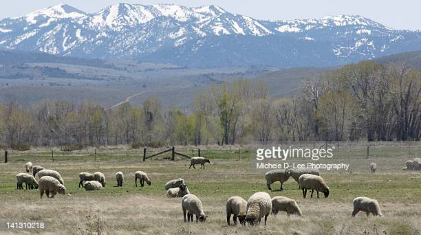 Sheep and snow covered mountain