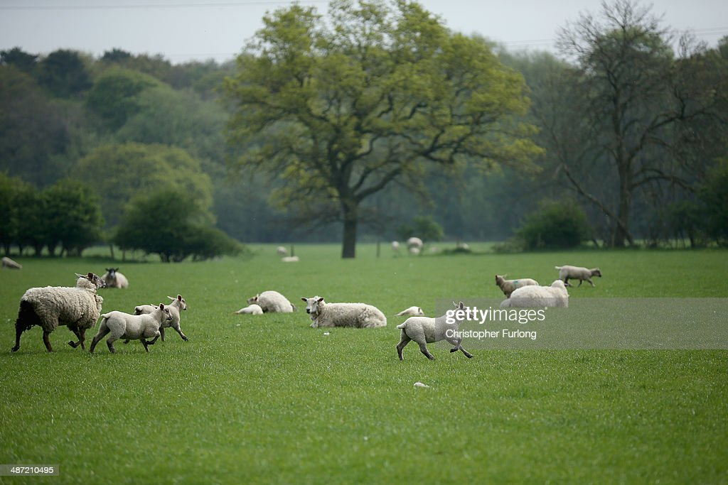 Sheep and spring lambs run through a field where the proposed route of the new HS2 high speed rail link will pass through near to the village of Hoo Green on April 28, 2014 in Knutsford, United Kingdom. The House of Commons will vote later today on the HS2 bill's second reading with 30 Conservative MPs threatening to vote against the Government's pro-HS2 stance.