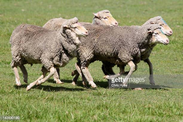 Sheep are been herded by a sheepdog to determine the official draw for the Davis Cup Asia Oceania Zone Second Round tie between Australia and Korea...
