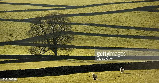 Sheep are contained in a field bound by dry stone walls in the Peak District national park near the village of Tideswell northern England on March 16...