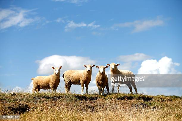 Sheep are pictured in the dry conditions at Ambury Farm on January 20 2015 in Auckland New Zealand Soilmoisture levels across the country are lower...