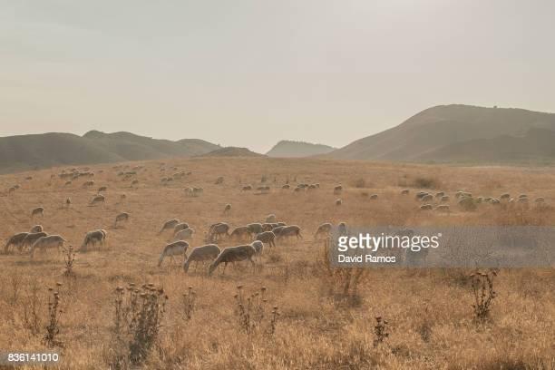 Sheep are seen crossing an arid field on July 27 2017 in Hellin Spain As the severe drought in Spain's Southeastern regions of Albacete Guadalajara...