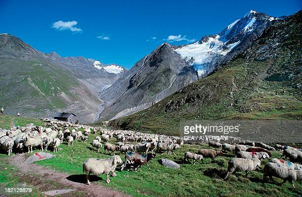Sheep at pasture in Niedertal Bovids transhumance from Italy's Val Senales to Austria
