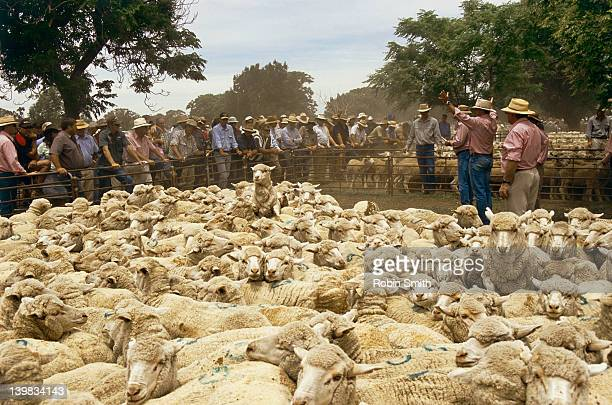 Sheep being auctioned, sheep saleyard, Hay, New South Wales, Australia