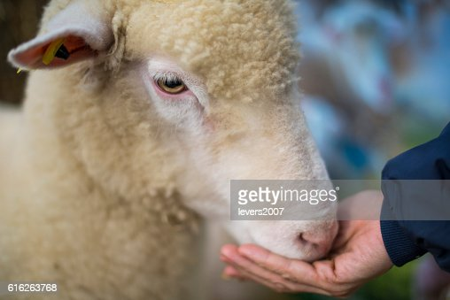Sheep being hand fed : Stock Photo