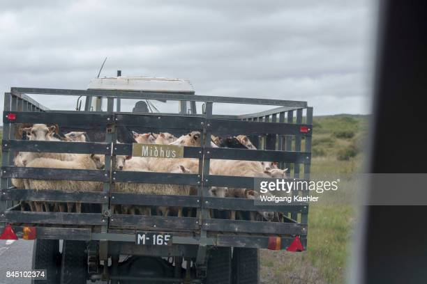 Sheep being transported by truck near Borgarnes in western Iceland