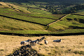 Sheep beside a drystone wall in autumn countryside