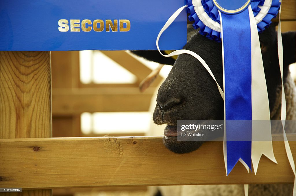 Sheep bleating behind second place rosette : Stock Photo