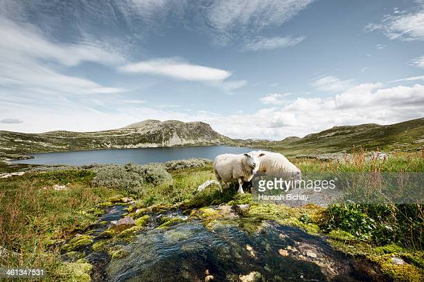 Sheep by a stream and lake in Norway