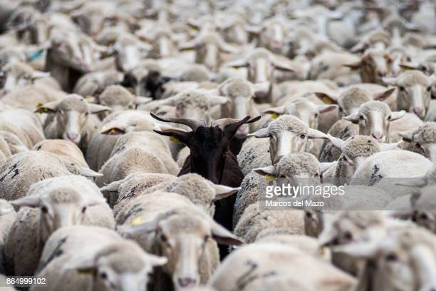 Sheep cross the streets during the annual transhumance festival