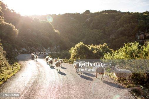 Sheep crossing road, Crete, Greece