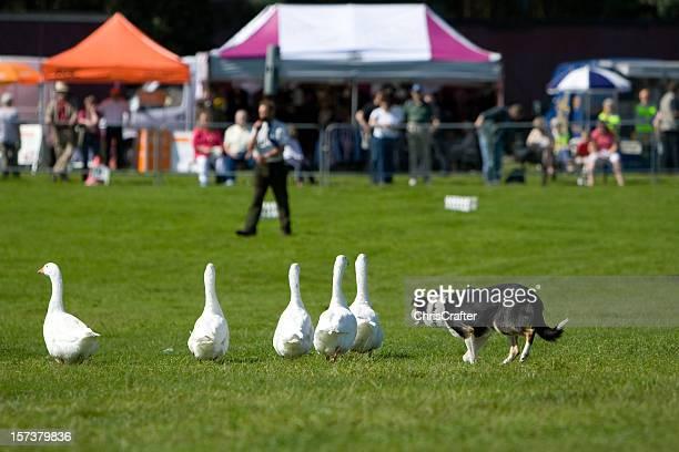 Sheep Dog herding geese
