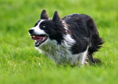 A sheep dog rounds up sheep during the International Sheep Dog Trials on September 11 2009 in Penrith England Top handlers from England Ireland...