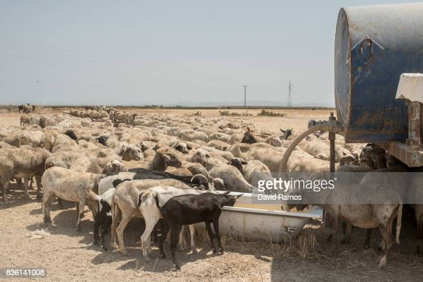 Sheep drink water from a bathtub as they cross arid plots of land on July 28 2017 in Los Martinez del Puerto Spain As the severe drought in Spain's...