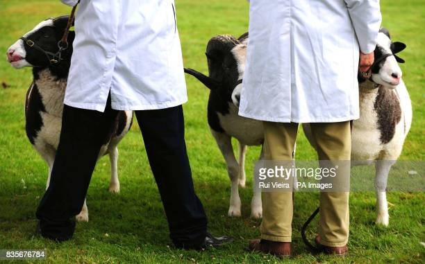 Sheep during judging at the Royal Show Stoneleigh Park Warwickshire