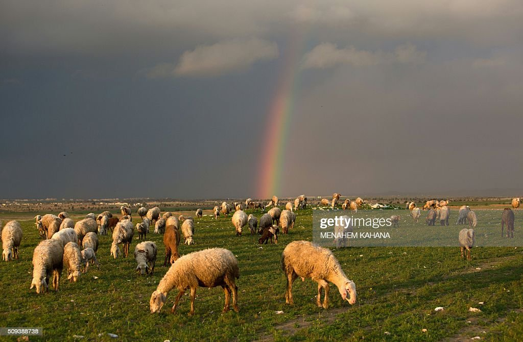 A picture taken on January 10, 2016 shows sheep as a rainbow stretches across the sky the sky near the southern Arab Israeli city of Rahat, in the northern Israeli Negev desert. / AFP / MENAHEM KAHANA