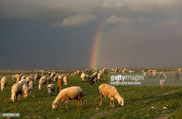TOPSHOT Sheep eat on a field in front of a rainbow on February 10 2016 near the southern Arab Israeli city of Rahat / AFP / MENAHEM KAHANA