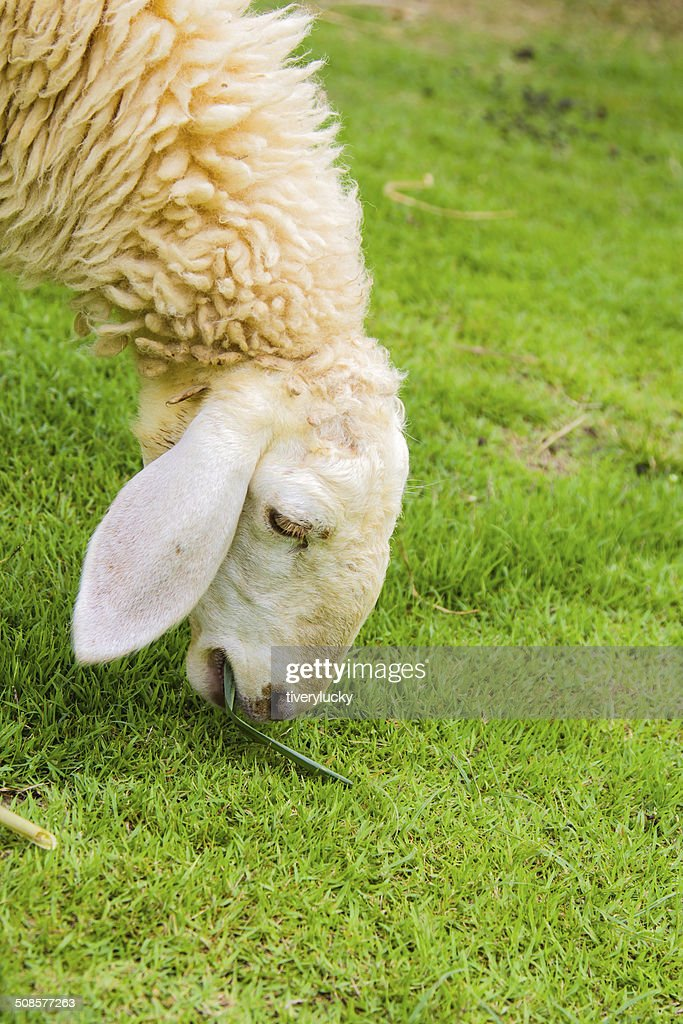 Sheep eating gass : Stock Photo