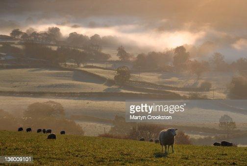Sheep eating grass : Stock Photo