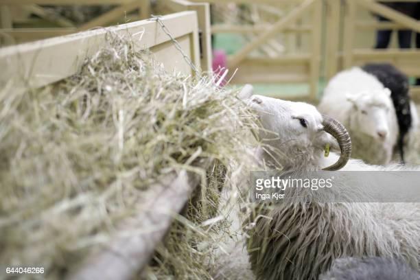 A sheep eats straw in a barn on February 06 2017 in Berlin Germany