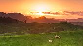 Sheep farm on North Isaland, New zealand