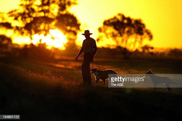 Sheep farmer John Addinsall walks at sunset with his dogs 25 March 2003