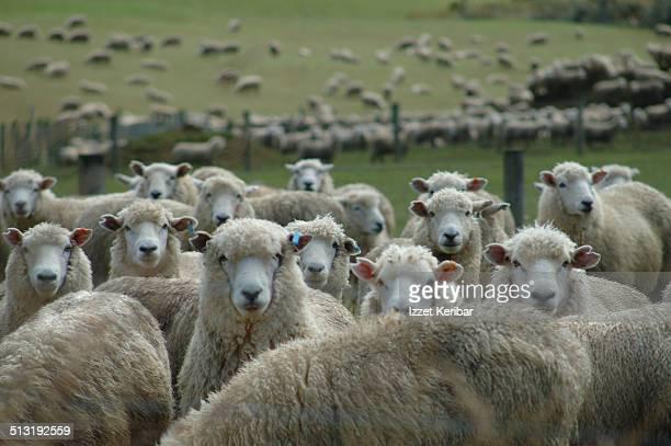 Sheep Farming, Southland Region , South Island
