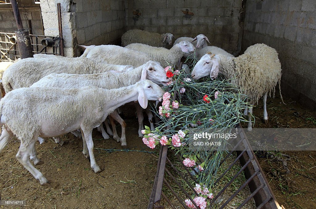 Sheep feed on carnations at the Hijazi flower farm in Rafah town, in the southern Gaza Strip on April 25, 2013. Palestinian farmers fed their livestock part of this year's flower crop, a product grown almost exclusively for export to the European market, due to export restrictions, imposed by Israel after the Islamist Hamas party took control of the impoverished strip.