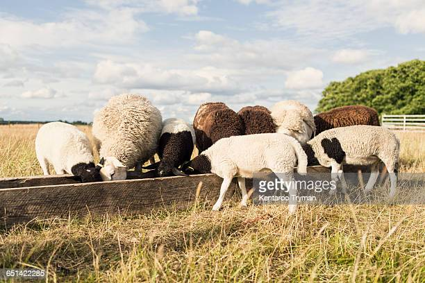 Sheep feeding in trough at farm against sky