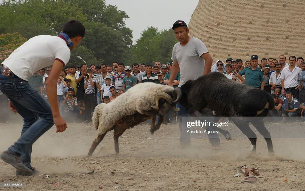 Sheep fighting is held during the 15th Silk and Spices Festival in Bukhara, Uzbekistan on May 26, 2016.