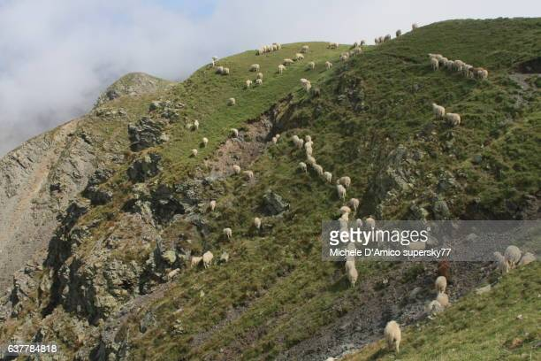 Sheep flock traversing a steep slope on the Alps