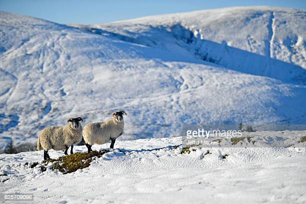 Sheep graze in the snow at the highest village on November 25 2016 in WanlockheadScotland Widespread hard frost and patchy fog continues across many...