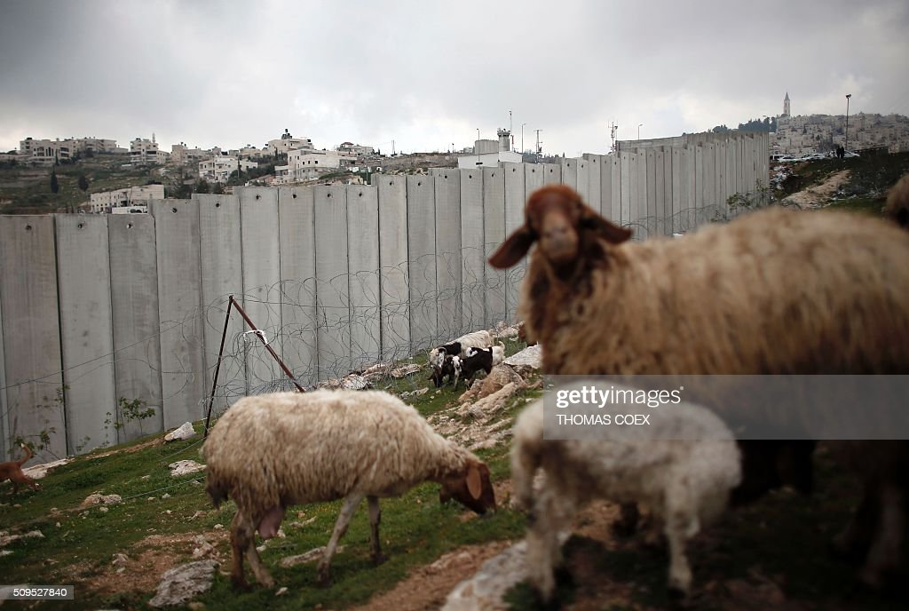 Sheep graze near Israel's controversial separation barrier dividing the Palestinian neighbourhood of Al-Tur in the Israeli annexed East Jerusalem with the West Bank, on February 11, 2016. / AFP / THOMAS COEX