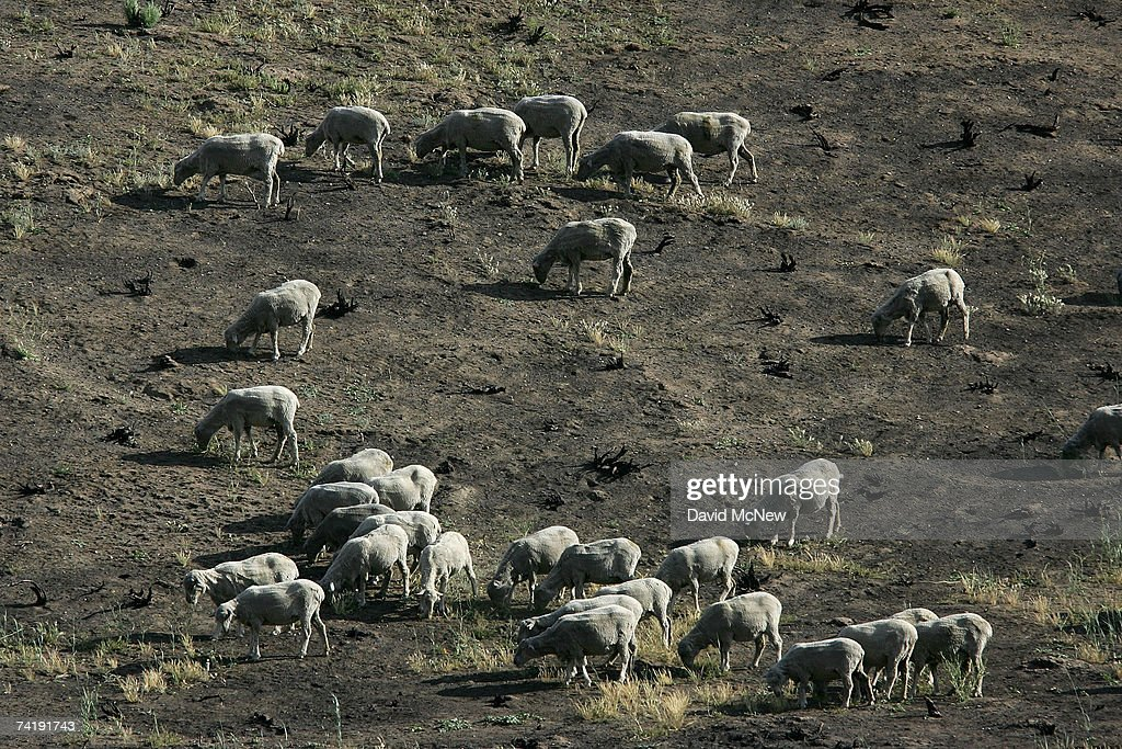 Sheep graze on new growth in a field recovering from a wildfire on May 18, 2007 near Gorman, California, 60 miles north of Los Angeles. The rain season in Los Angeles is shaping up as the driest since record-keeping began in 1872 and the region is now in an 'extreme' drought state, the second-driest ranking given by the National Drought Mitigation Center in Lincoln, Nebraska. Bark beetle infestations induced by overgrowth from the second-wettest winter on record two years ago have killed untold thousands of pines in the mountain areas. Fire officials say that conditions are right for wildfires of disastrous proportions and frequency in southern California this year.