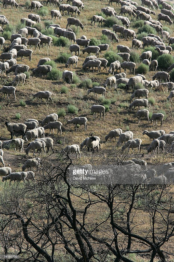 Sheep graze on new growth near charred trees in a field recovering from a wildfire on May 18, 2007 near Gorman, California, 60 miles north of Los Angeles. The rain season in Los Angeles is shaping up as the driest since record-keeping began in 1872 and the region is now in an 'extreme' drought state, the second-driest ranking given by the National Drought Mitigation Center in Lincoln, Nebraska. Bark beetle infestations induced by overgrowth from the second-wettest winter on record two years ago have killed untold thousands of pines in the mountain areas. Fire officials say that conditions are right for wildfires of disastrous proportions and frequency in southern California this year.
