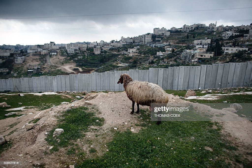 A sheep grazes near Israel's controversial separation barrier dividing the Palestinian neighbourhood of Al-Tur in the Israeli annexed East Jerusalem with the West Bank, on February 11, 2016. / AFP / THOMAS COEX