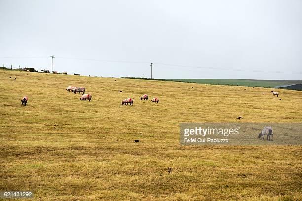 Sheep grazing at Ballycroy of County Mayo in Ireland