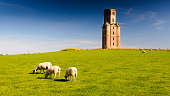 Sheep grazing in a field below Horton Observation Tower, a folly in East Dorset.