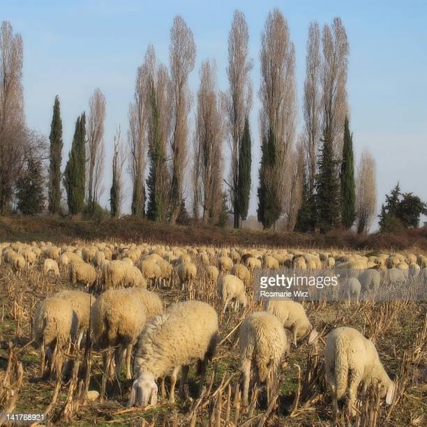 Sheep grazing green grass